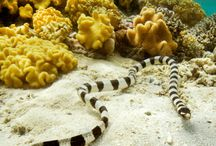 sea snakes / http://liveaboardadvisor.com/ See the sea snakes during your liveaboard trip