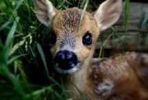 Animals   ( Deer )