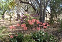 cassie's garden / a wheatbelt garden, full of cacti, rosemary, jam trees, gum trees, growing despite weather, wind and rock. / by Carole Wescombe