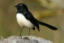 Willie wagtails