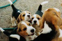 BirkTheBeagle ❤️ / Beagle, ca 10 uker