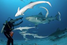Diving with Bull Sharks / These marine animals appear from November to March of the Mexican Caribbean coasts of Cancun and Playa del Carmen.  If you are aching to book your next scuba dive trip that will have you face-to-face with some bull sharks in their native habitat, Aquaworld has the best dive guides and tours also we are affiliated with two leading dive agencies in the world — PADI and SDI.  Join us for this adventure you will never forget!
