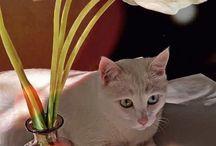 Van Dilan / Pisici/cat/kedisi