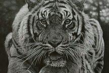 tigris/oroszlán