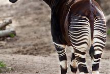 #Animales # Okapi