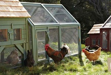 Chickens / by Connie Flunker