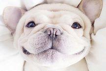 Bulldog happy / A