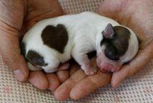 Corazón,Corazón animales