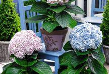 Hydrangea-hortensia