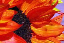 Heliantheae - slunečnice