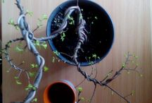 young bonsai / My own piece of life in my own room. Sounds selfish !