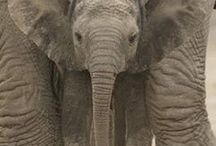 Elephants Are My Favorite!  / by Rebecca Sheats