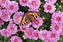 Vaaleanpunaista ja lilaa puutarhassa / Puutarhani kesäkukkia ja perennoita, ja lempiväreissäni. Les fleurs de mon jardin sont biensûr roses et violettes...