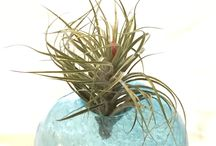 Air Plants / I'm officially addicted to air plants. Want to share all the display idea I collected.