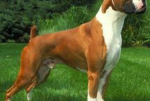Boxers (Dogs)