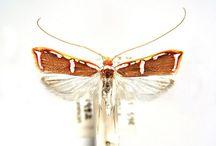 australian moths