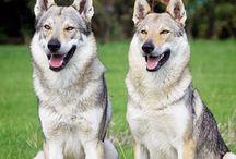 czechoslovakian wolfdogs / <3 <3 <3