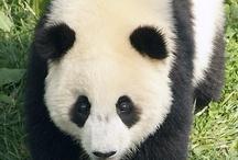 little pandas