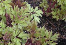 Plant foliage