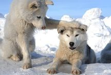 Huskies! / Thank you for sharing your pins and thank you for repinning! Repin as many as you want. / by Tamara Llanes