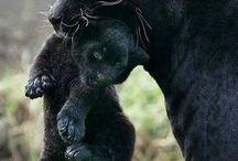 Zwarte panter en welp / Mooi beest Panter met zwarte huid
