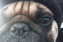 Pug life for real
