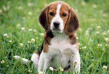 Beagles - A tribute to Dante (my beagle)