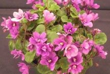 African Violets - Saint Paulia / Flowers