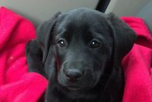 Black Labs / by Miss Niki