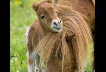 Shetlandi póni / Best horse