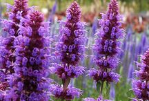 All Things Purple / Creating beautiful gardens using the purple color scheme. Enjoy selections of annuals, perennials and shrubs that show off shades of Purple