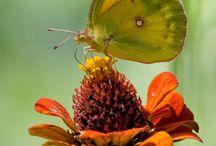 Butterflies / A board about butterflies. / by Noelito Flow