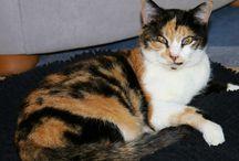 """Meine Katzen - Cleo / Das ist Cleo Sie ist unser einziges Mädel, sie ist eine dreifarbige Glückskatze und wurde wohl im Mai 2014 geboren  Sie ist total verschmust und einfach eine kleine """"Zicke"""""""