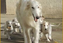 Borzoi/dog stuff