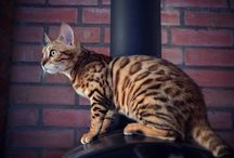 Bengal cat Colorado
