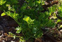 Celery (gardening) / by Karen Rickel