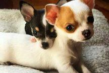 Chihuahua and Puppies