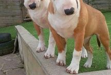 English bull terriers / English bull terriers being themselves!