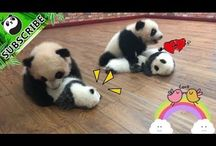 panda birboni