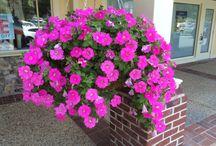 Spring Hanging Baskets / Spring hanging baskets, combination baskets, annuals