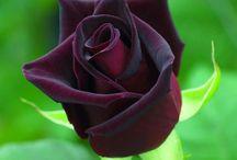 rosa negra e jardins de rosas
