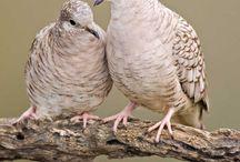 Galamb párok