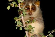 Slender loris.                                              Cutest.Animal.Ever / by Corinne A