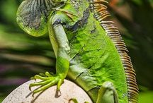 Iguana e lagartos