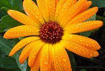 Flowers / by Cheryl Hughes