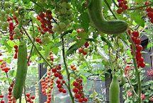 Tomater gurks