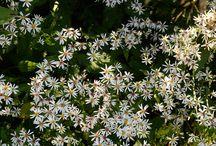 Växter: perenner