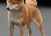 Shiba Inu <3