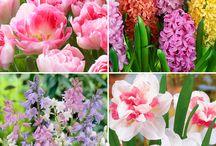 Pastelkleurige bloembollen / Pastelkleurige bloembollen zijn dé trend van voorjaar 2015! Daarom hebben we een prachtig bloembollenpakket in pasteltinten samengesteld, bestaande uit maar liefst 60 voorjaarsbollen. Van 30,- voor slechts 15,-! Bestel via http://www.bakker-hillegom.nl/product/pastelkleurige-bloembollenmix/