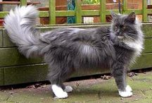 Maine Coon - Blue Smoke & White / #MaineCoon #BlueSmoke&White  #Cats